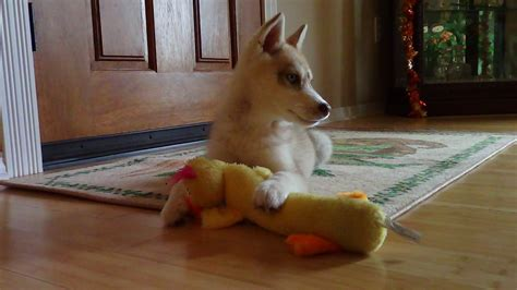 puppies huntsville al husky puppies huntsville al 171 siberian husky puppies for sale siberian husky puppies