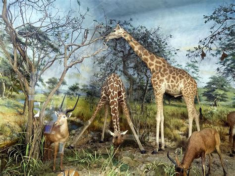fileantelope  giraffe diorama taxidermy powell cotton museum birchington kent englandjpg