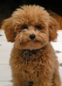haircutsfordogs poodlemix apricot toy poodle w a puppy cut dog gone it pinterest toys toy poodles and puppys