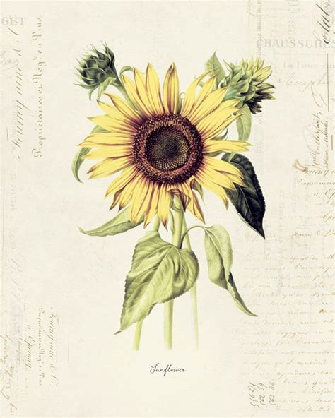 flower tattoo etsy vintage botanical flower quot sunflower quot on french ephemera