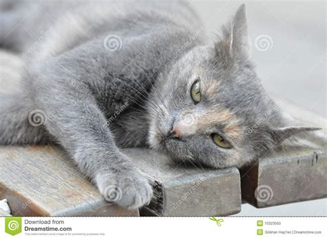cute gray cat stock photo image  bench single sleepy