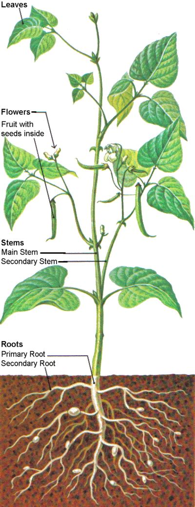 bean plant diagram flowering plant parts diagram
