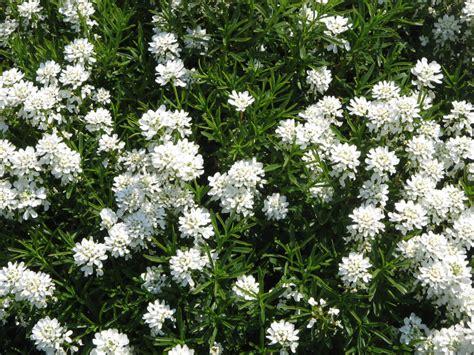 pianta invernale con fiori bianchi giardinaggio l iberis una piantina perenne