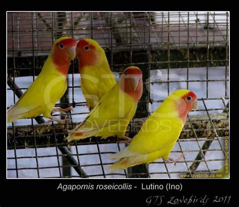 Lovebird Lutino Opaline lutino roseicollis gts lovebirds