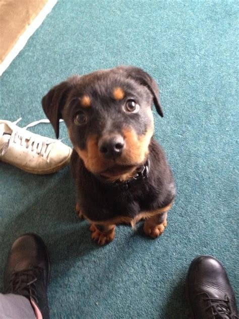 14 week puppy 14 week puppy for sale wolverhton west midlands pets4homes