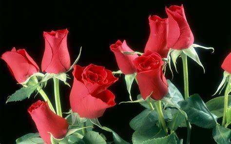wallpaper flower red rose red rose flowers wallpaper 617645