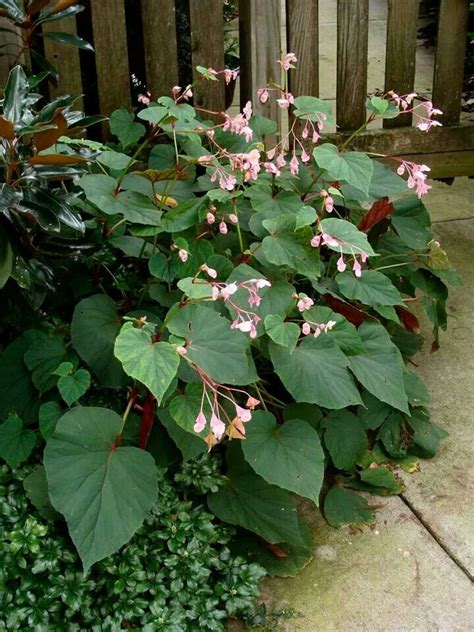 17 best images about open shade plants pacific nw on pinterest gardens sun and ferns