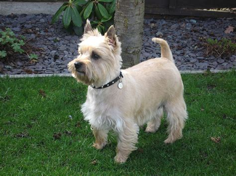 how to cut my silky terriers hair cairn terrier summer haircut cairn terrier summer cut