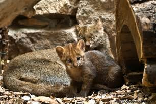 imagenes jaguarundi jaguarundi cub and its mother by amrodel on deviantart