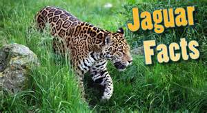 Jaguar Facts Jaguar Facts For Adults Information Pictures