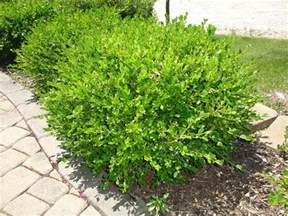 types of bushes for your garden landscape ideas