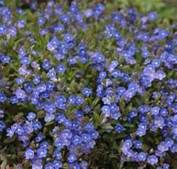 buy veronica umbrosa georgia blue delivery by plantstoplant com