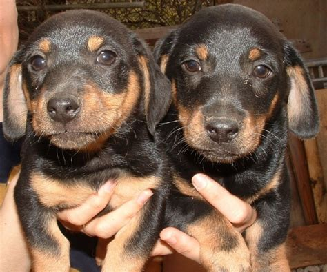 free dachshund puppies in dogs dachshund puppy free stock photos in jpeg jpg 1617x1346 format for free