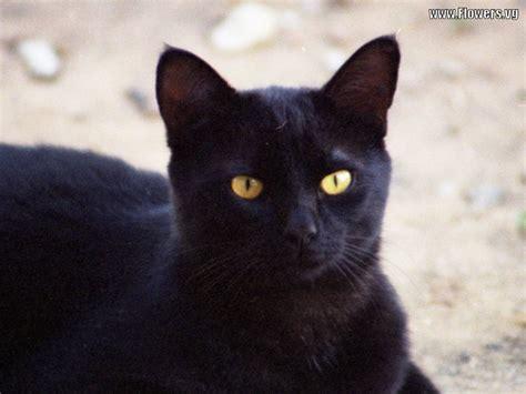 of a black cat black cat 13 cool wallpaper hdblackwallpaper