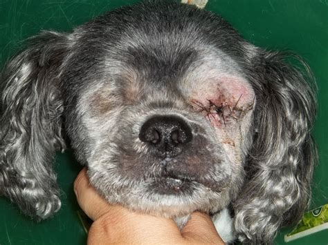 shih tzu dogs 101 zoe s enucleation the of a one now no eyed shih