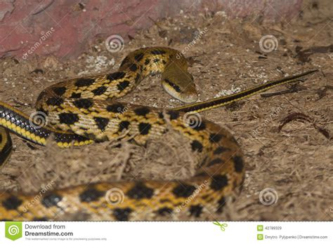 with black spots yellow snake with black spots which is stock photo image 42789329