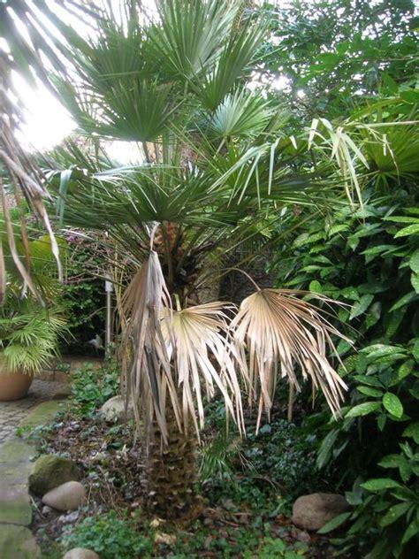 langsam wachsende pflanzen 1533 palmen und co 187 totaler winterausfall so darf s