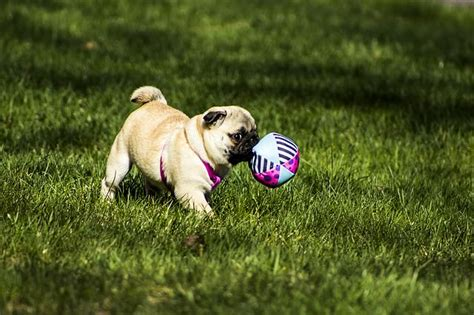 healthy weight for pugs 3 ways to keep your pug happy healthy iheartdogs