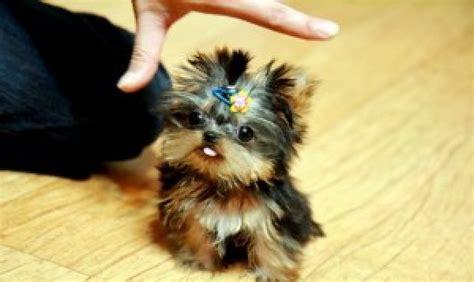 yorkie puppies for sale in statesboro ga plane yorkie puppies for sale in precious