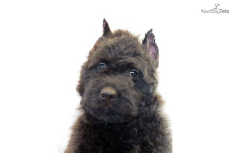 bouvier des flandres puppies for sale bouvier des flandres for sale for 1 150 near southeast missouri missouri 8fc43dd3 f151