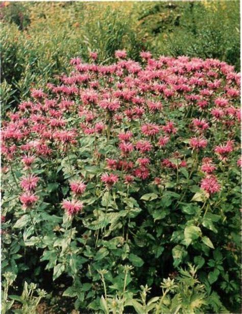 hardy perennials monarda