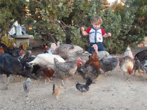 ok can i or can i not raise turkeys with chickens