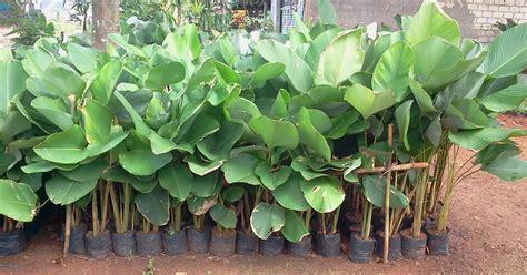 jual pohon pisang kalatea tanaman hias menjual