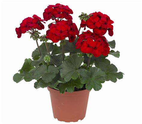 salsarita geranium wins bedding plant award greenhouse grower
