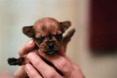 ocala4sale puppies chorkie puppy sweet things