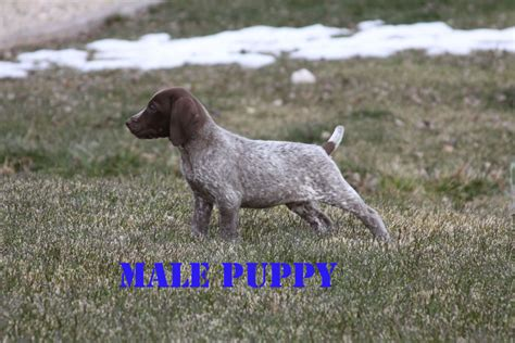 gsp puppies for sale german shorthair puppies for sale best gun dogs