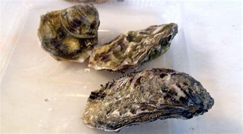 come cucinare le ostriche come aprire le ostriche guida per riconoscere le ostriche