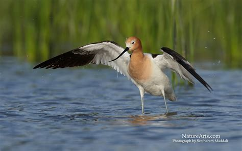 american avocet beautiful bird facts pictures the
