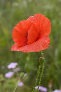 Veterans Day Flowers - poppies yes now they ll sleep the phytophile