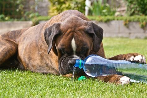 how to tell if a puppy is dehydrated how to if your is dehydrated iheartdogs
