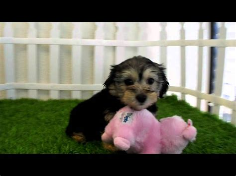 yorkie poo for sale san diego yorkie poo puppies for sale san diego puppy
