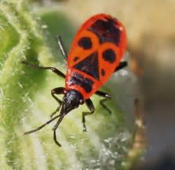 le schwartze gendarme insecte wikip 233 dia
