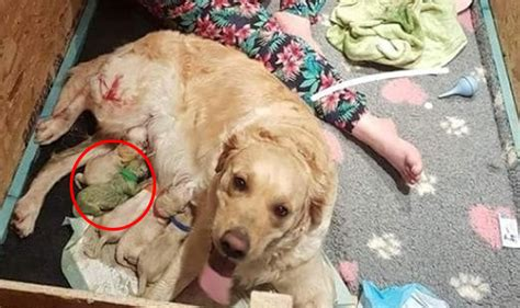 golden retriever birth a golden retriever has given birth to a nine puppies owner is shocked as one of them