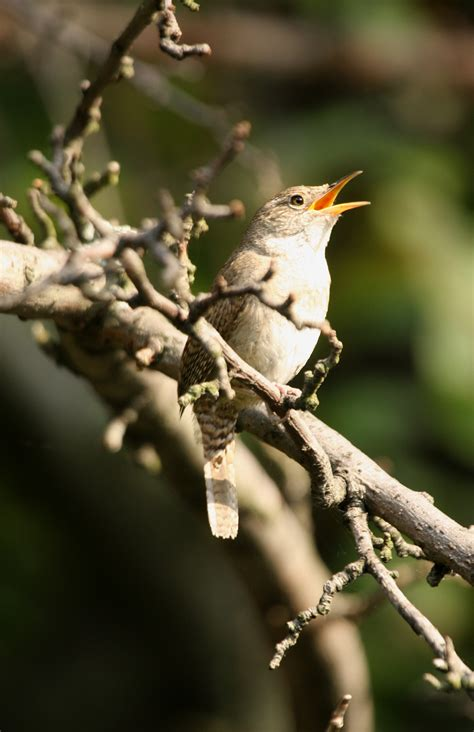 house wren song the joys of summer bird song