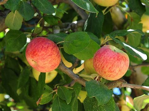 fruit tree nursery oregon fruit trees oregon home design inspirations