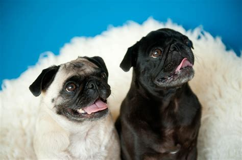 i want a pug so bad 3753 best pugs images on