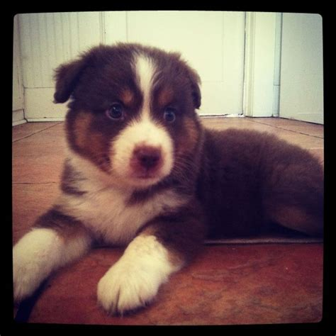australian shepherd puppies for adoption the 25 best ideas about miniature australian shepherds on miniature