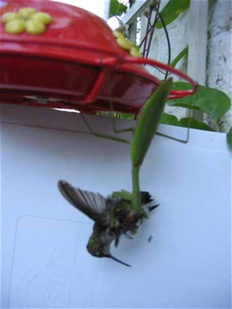 praying mantis eating humming bird flickr photo sharing