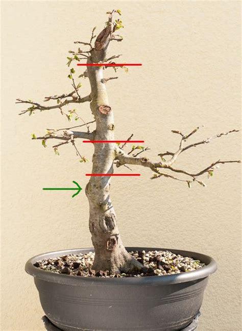 olivenbaum wann schneiden die besten 25 olivenbaum schneiden ideen auf
