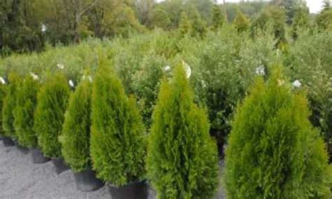 evergreen shrubs louie s nursery garden center