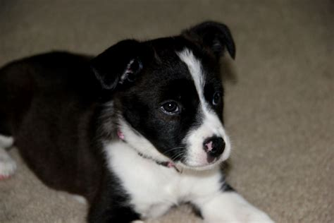 husky puppy adoption australian husky puppy adoption photo happy heaven