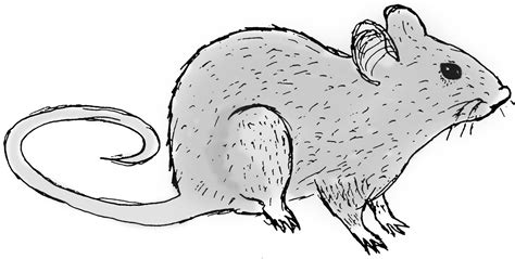 image gallery rat drawing