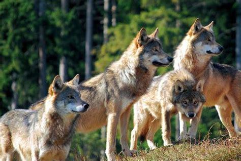 minicuentos de lobos y el lobo y la manada almo nature