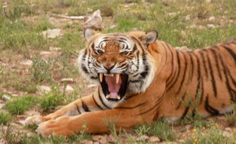School Of Wildlife Mba by The Critically Endangered South China Tiger Roars Again In