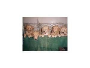golden retriever puppies huntsville alabama golden retriever puppies in alabama