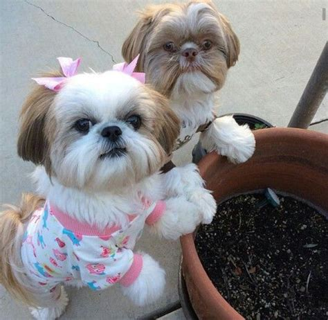 shih tzu ewok haircuts 2398 best animals mostly dogs images on pinterest